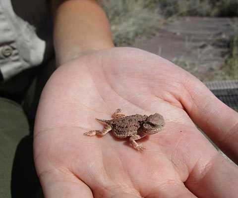 Baby Horned Lizard | NPS Photo by Andy Bridges