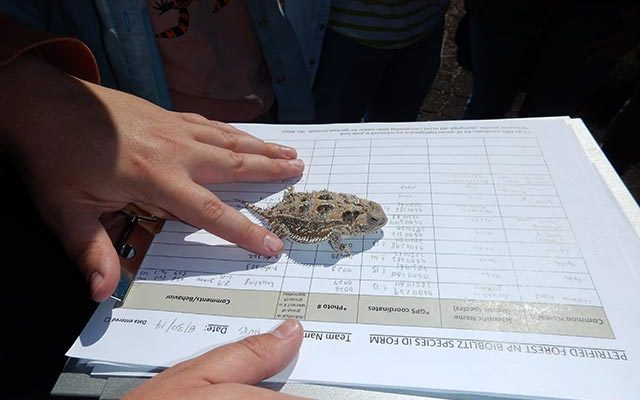 Cataloging adult horned lizard | NPS Photo by Andy Bridges