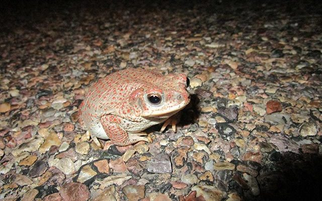 Red Spotted Toad | NPS Photo by Andy Bridges